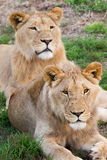 Lion duo. Two young male African lions Stock Images
