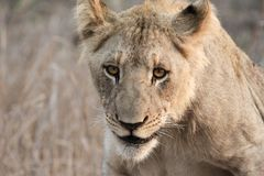 Lion at dusk. A young male lion gets up as the air begins to cool Royalty Free Stock Image