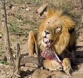 Lion eating. Wild lion eating fresh meat Stock Photos