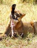Lion Eating Fotografia Stock