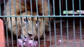 Lion Eating almacen de metraje de vídeo