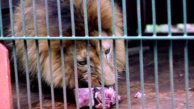 Lion eating. Lion in an animal reserve in Misiones, Argentina stock video