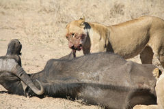 Lion eating bull in blood after hunting wild dangerous mammal africa savannah Kenya Royalty Free Stock Images