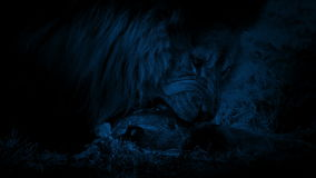 Lion Eating Dead Animal In Dark stock footage