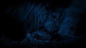 Lion Eating Dead Animal In la oscuridad metrajes