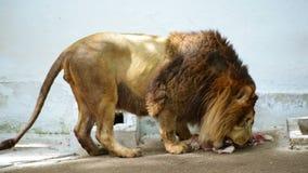 Lion Eating en el parque zoológico metrajes