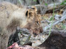 Lion eating his prey after an hunting night in the Savanna. – South Africa Royalty Free Stock Photography