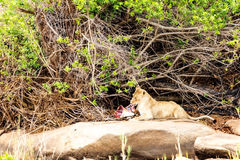 Lion Eating Impala Leg Photos libres de droits