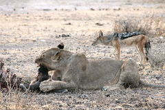 Lion Eating In Namibia Stock Photo
