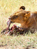 Lion Eating. Lion lying on the grass and eating it's prey Stock Image