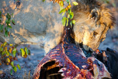 Lion eating Royalty Free Stock Images