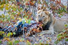 Lion eating Stock Image