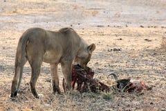 Lion Eating in Namibië royalty-vrije stock foto