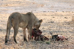 Lion Eating in Namibia Royalty Free Stock Photo