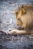 A lion eating a piece of meat. Lion dines with a large piece of meat Royalty Free Stock Image