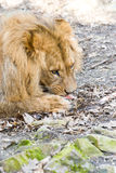 A lion eating a piece of meat. Lion dines with a large piece of meat Royalty Free Stock Photo