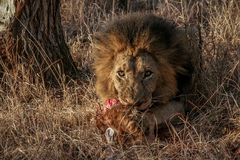 Lion eating a Steenbok Stock Photo