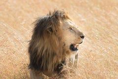 Lion Eating una preda in masai Mara Immagini Stock Libere da Diritti