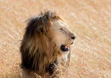 Lion Eating una preda in masai Mara Fotografia Stock Libera da Diritti