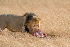 Lion Eating una preda in masai Mara fotografia stock