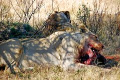 Lion Eating Warthog Royaltyfria Foton