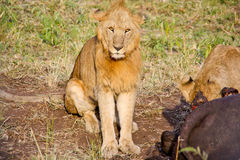 Lion eating a water buffalo Stock Photo