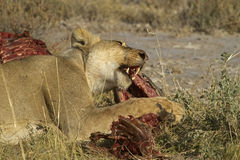 Lion eating on a Zebra carcass. Panthera Leo royalty free stock photo