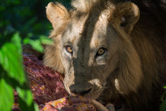 Lion eating a Zebra carcass Royalty Free Stock Images