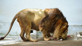 Lion Eating at Zoo stock footage