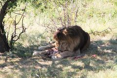 Lion eats the prey Stock Photo