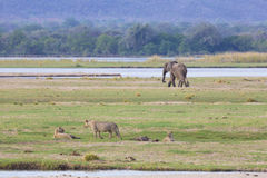 Lion and elephant by the Zambezi River Royalty Free Stock Photography