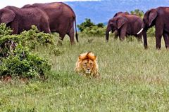 Lion and Elephants Royalty Free Stock Photo