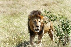 A lion emerging from the bush Royalty Free Stock Image