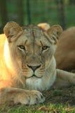 Lion en Afrique Photographie stock libre de droits