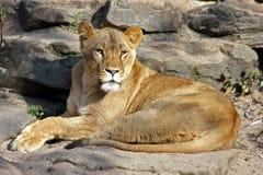 Lion en nature Image libre de droits