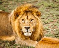 Lion en nature Photographie stock libre de droits
