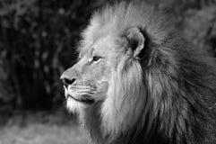 Lion en noir et blanc. Photographie stock