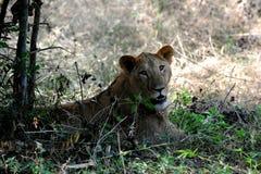 Lion en parc national de Bannerghatta, Karnataka, Inde Image stock