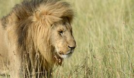 Lion en parc national du Kenya photo stock