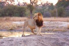 Lion en sables de Sabi Photographie stock