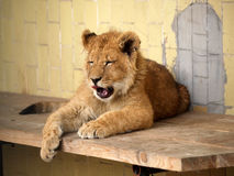 Lion en Sofia Zoo, Bulgarie Images stock