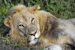 Lion en soleil de début de la matinée Photographie stock libre de droits