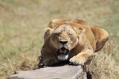 Lion enceinte photo stock