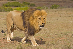 Lion Enforcer royalty free stock photography
