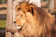 Lion enjoy on the sunny day Stock Photo