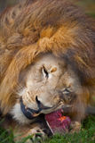 Lion Enjoying his food. Stock Photography