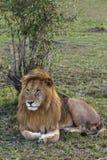 lion Enorm konung av fän mara masai Arkivbild