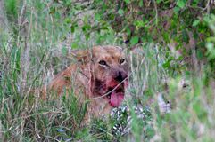 Lion ensanglanté photos stock