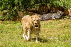 Lion et fierté de lion à la nuance d'un arbre Images libres de droits