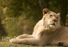 Lion et fleurs photo libre de droits